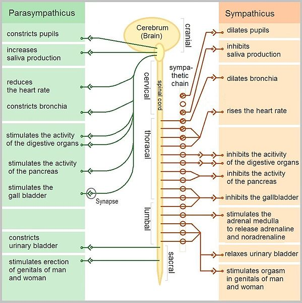 vad är sympatiska nervsystemet