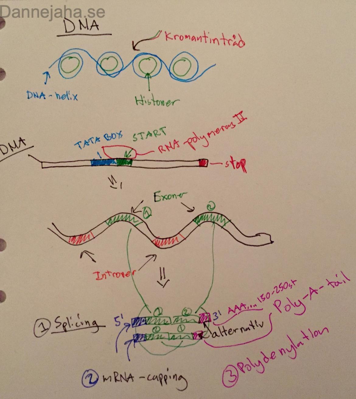 protein syntes