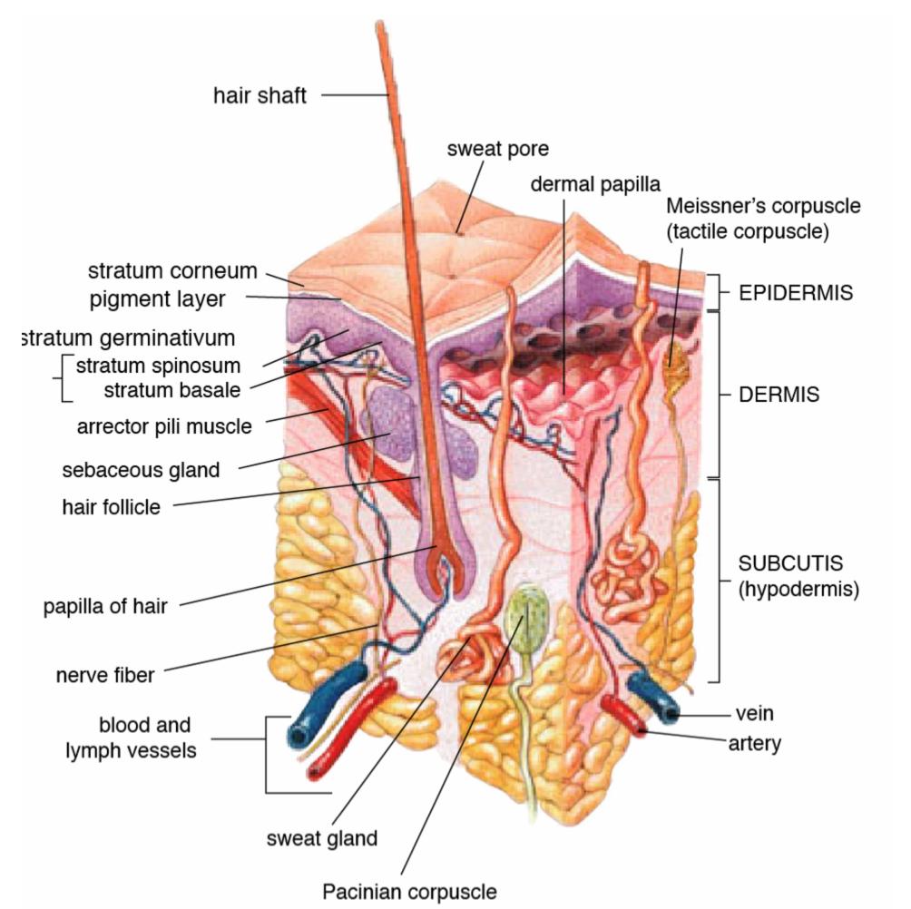 hur är människans hud uppbyggd