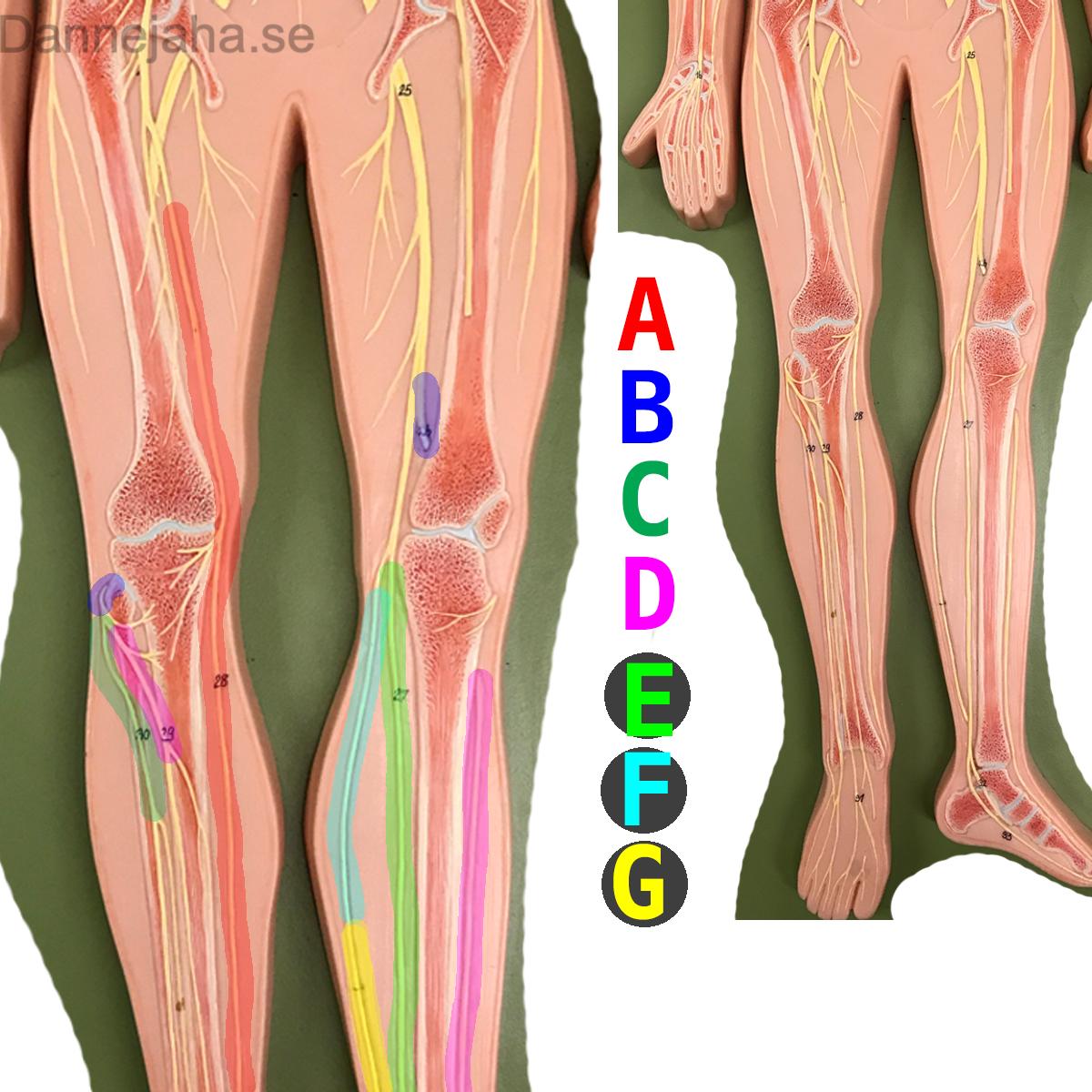 Beste Knöchel Mri Anatomie Radiographics Fotos - Physiologie Von ...